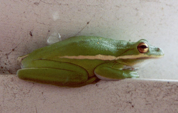 Green Tree Frog, Hyla cinerea